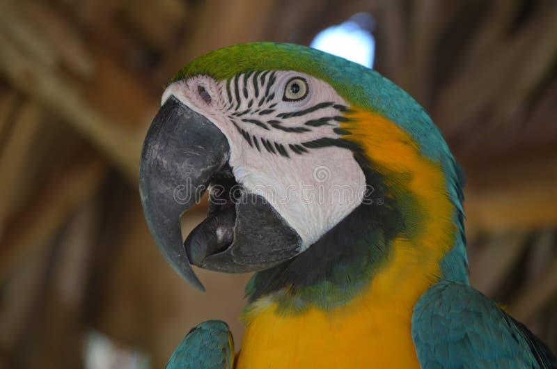 Επάνω στον περίβολο με ένα μπλε και χρυσό Macaw στοκ φωτογραφία με δικαίωμα ελεύθερης χρήσης
