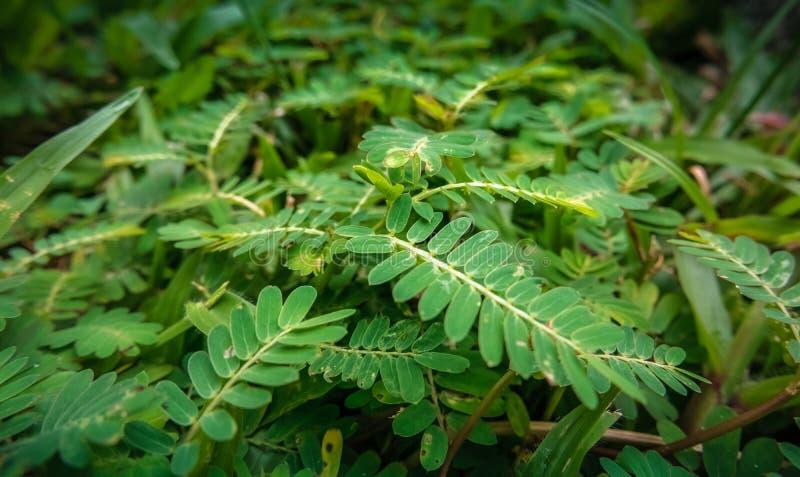 Επίγειοι θάμνοι: pinnate φύλλα και χλόες στοκ φωτογραφία