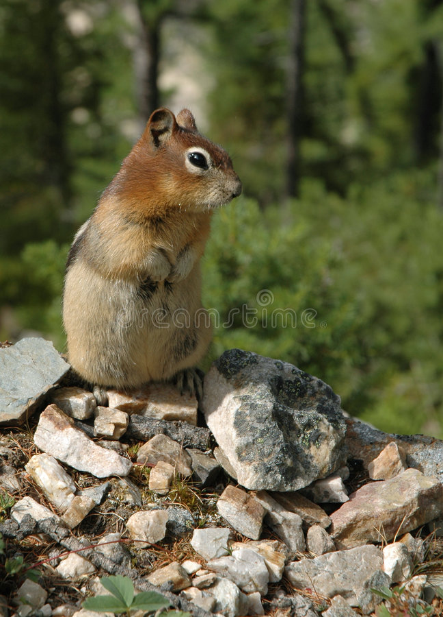 επίγειος σκίουρος στοκ εικόνα με δικαίωμα ελεύθερης χρήσης