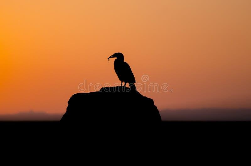 Επίγειο hornbill ηλιοβασίλεμα στο Maasai Mara στοκ εικόνα