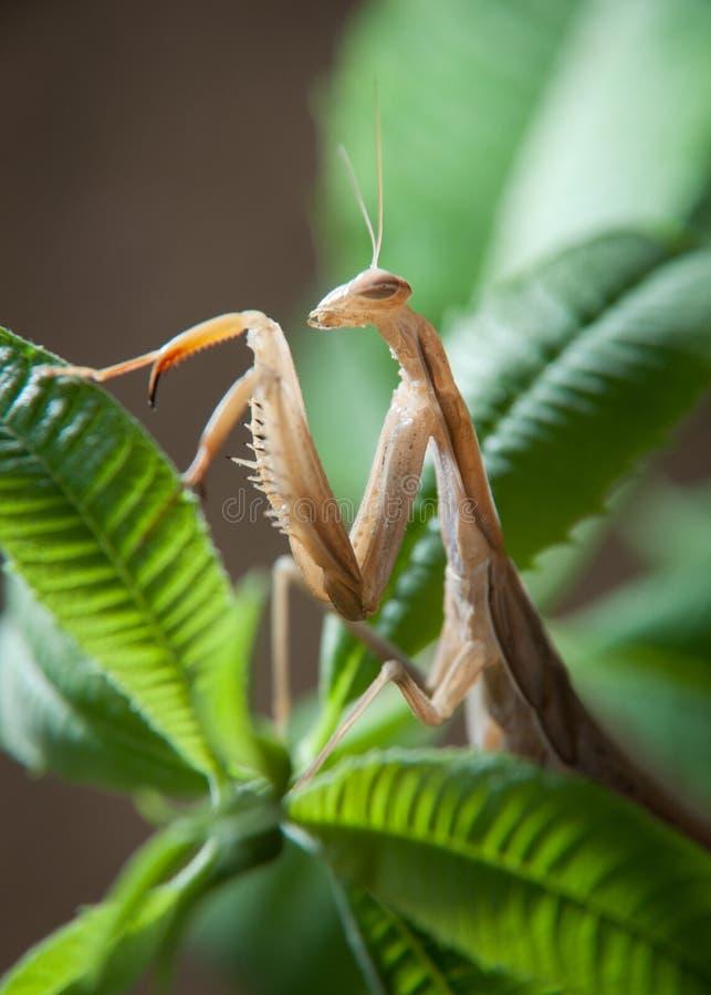επίκληση mantis στοκ φωτογραφία