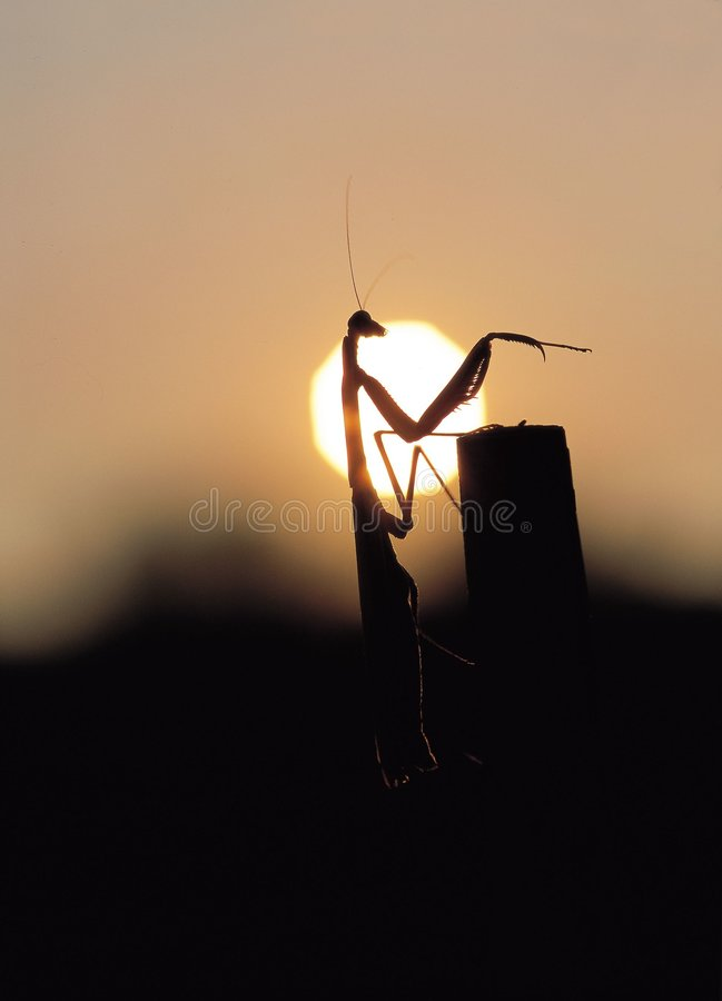 Download επίκληση mantis στοκ εικόνα. εικόνα από φύση, εποχή, ηλιοβασίλεμα - 77325