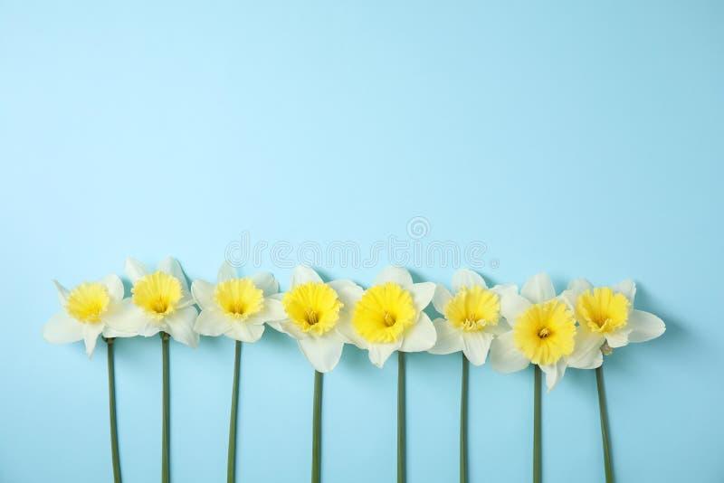 Επίπεδος βάλτε τη σύνθεση με τα daffodils στο υπόβαθρο χρώματος Φρέσκα λουλούδια άνοιξη στοκ φωτογραφίες