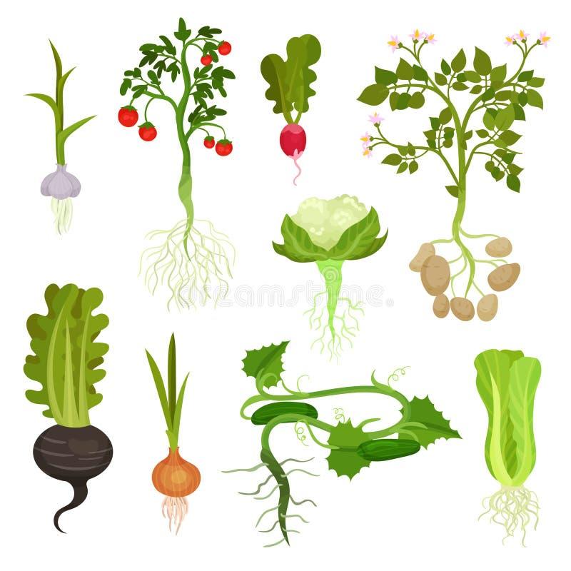 Επίπεδο διανυσματικό σύνολο λαχανικών με τις ρίζες Οργανικά και υγιή τρόφιμα Φυσικά αγροτικά προϊόντα Καλλιεργημένες εγκαταστάσει απεικόνιση αποθεμάτων