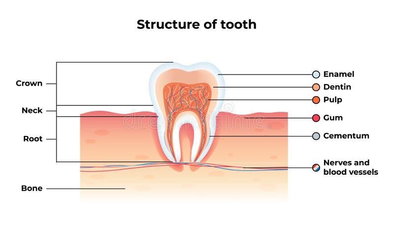 Επίπεδο δόντι Infographics δομών εμβλημάτων διανυσματικό απεικόνιση αποθεμάτων