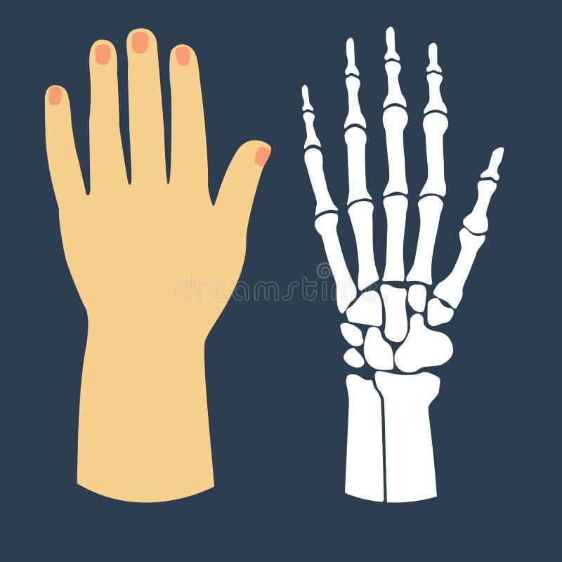 Επίπεδο σχέδιο του χεριού και του σκελετού διανυσματική απεικόνιση