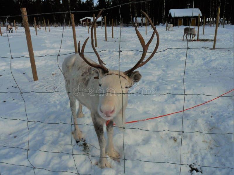 Επίσκεψη ενός αγροκτήματος ταράνδων στο φινλανδικό Lapland στοκ εικόνα