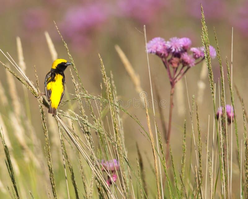 επίσκοπος πουλιών χρυσός στοκ εικόνες με δικαίωμα ελεύθερης χρήσης