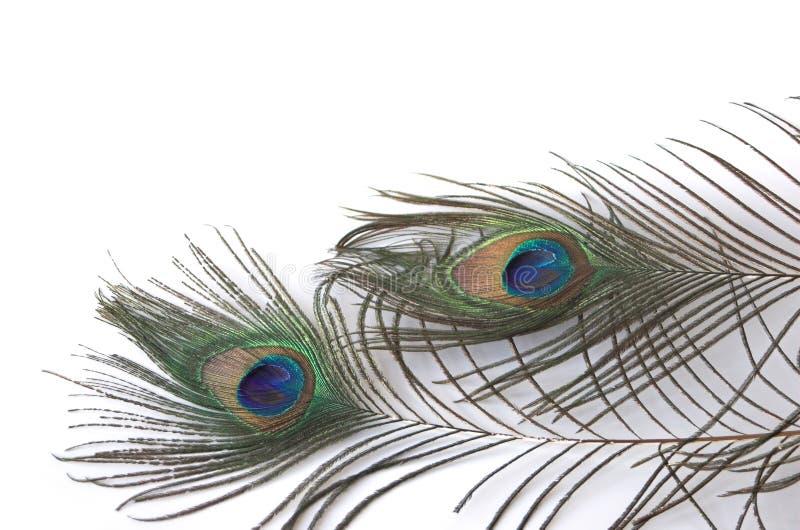 επενδύει με φτερά peacock δύο στοκ εικόνα με δικαίωμα ελεύθερης χρήσης