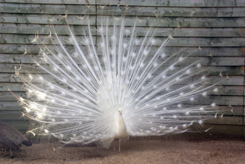επενδύει με φτερά peacock το λευκό SP στοκ φωτογραφία