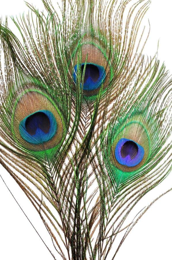 επενδύει με φτερά peacock στοκ φωτογραφίες με δικαίωμα ελεύθερης χρήσης