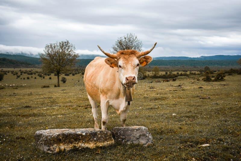Επιβολή της αγελάδας σε έναν τομέα στοκ φωτογραφίες με δικαίωμα ελεύθερης χρήσης