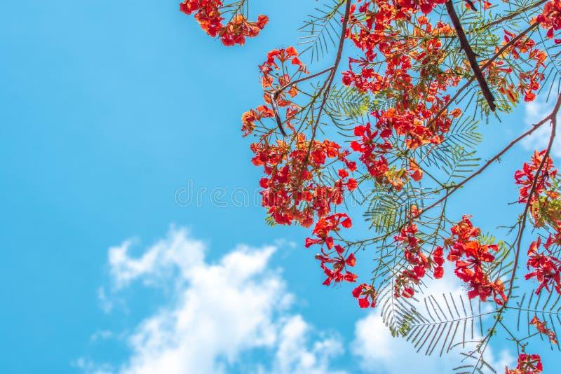Επιδεικτικό ή προστατευόμενο δέντρο regia Poinciana Delonix με τα λουλούδια στο μπλε ουρανό και τα σύννεφα στοκ εικόνες με δικαίωμα ελεύθερης χρήσης