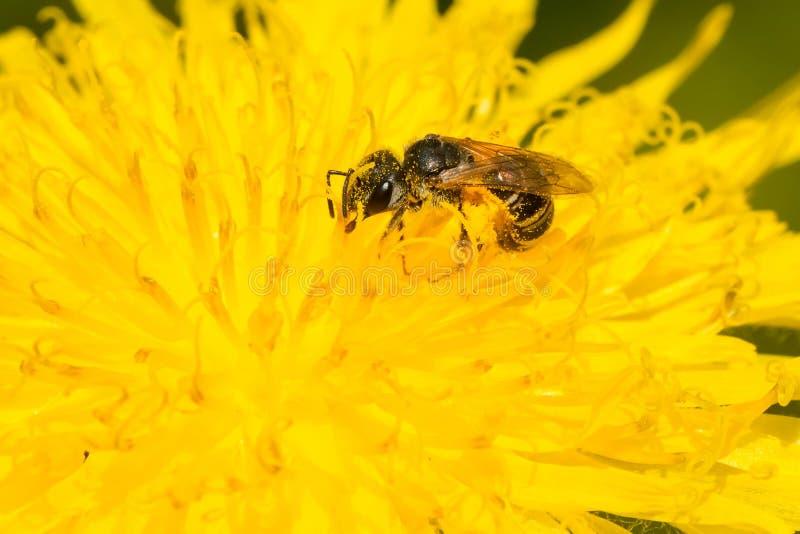Επιδεμένη Furrow μέλισσα - ligatus Halictus στοκ εικόνα με δικαίωμα ελεύθερης χρήσης
