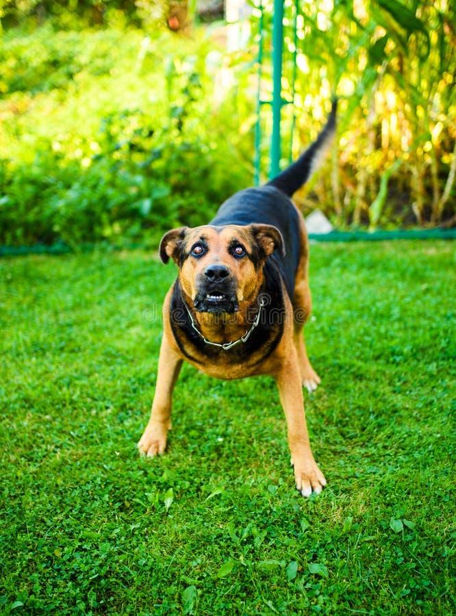 επιθέσεισες σκυλιών Το σκυλί φαίνεται επιθετικό και επικίνδυνο στοκ φωτογραφίες