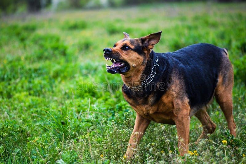 επιθέσεισες σκυλιών Το σκυλί φαίνεται επιθετικό και επικίνδυνο στοκ εικόνα με δικαίωμα ελεύθερης χρήσης