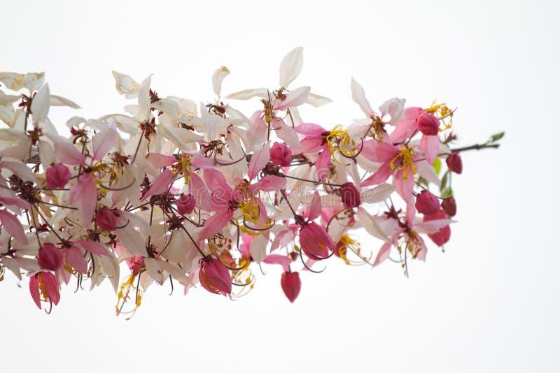 Επιθυμία του δέντρου, ρόδινο Showe, Cassia Bakeriana Craib στοκ εικόνα με δικαίωμα ελεύθερης χρήσης