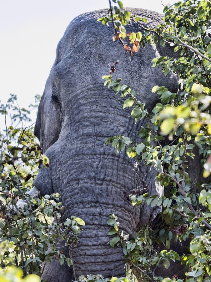 Επικίνδυνα κοντά στον αφρικανικό ελέφαντα, africana Loxodonta, εθνικό πάρκο Chobe, Μποτσουάνα στοκ εικόνες