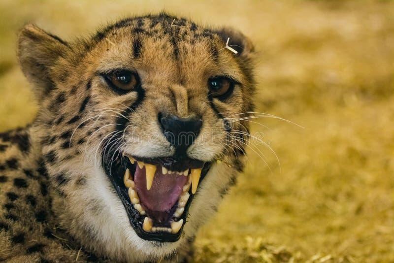 Επικίνδυνα τσιτάχ που παρουσιάζει δόντια της στοκ φωτογραφία