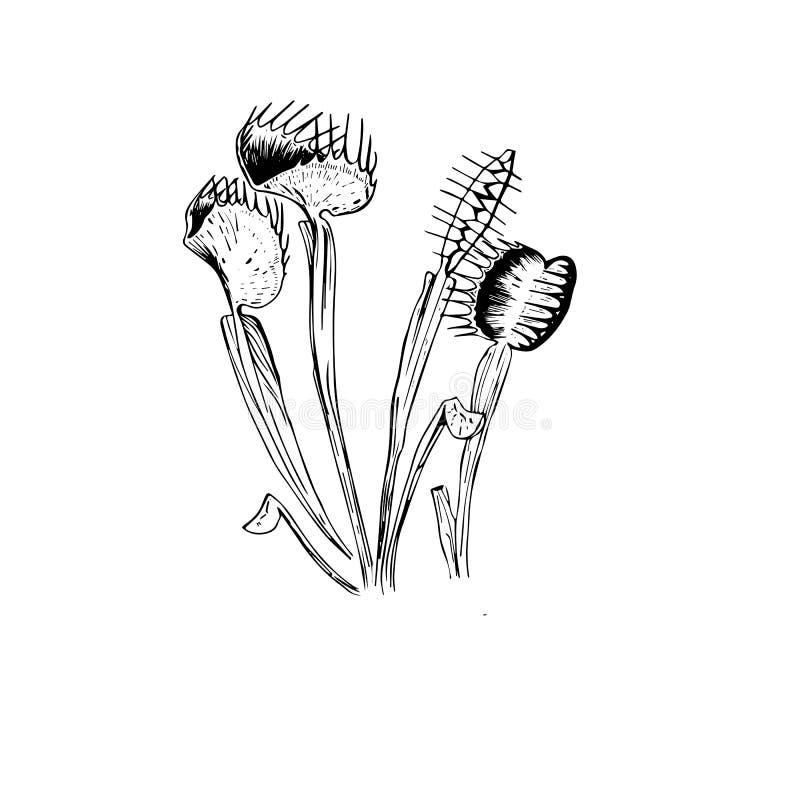 Επικίνδυνο flytrap της Αφροδίτης σκίτσο ελεύθερη απεικόνιση δικαιώματος