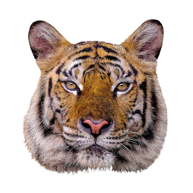 Επικεφαλής άσπρο υπόβαθρο τιγρών στοκ φωτογραφία