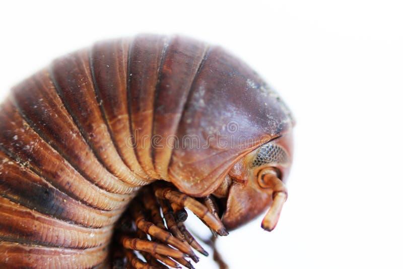 Επικεφαλής μέρος με τα μάτια και τις κεραίες γιγαντιαίο αφρικανικό millipede Μακροεντολή στοκ εικόνες
