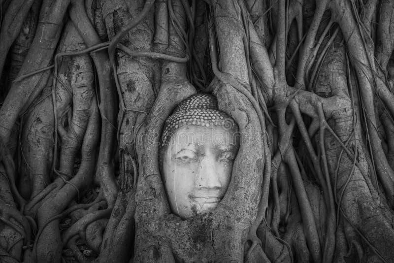 Επικεφαλής του αγάλματος του Βούδα στις ρίζες δέντρων στο ναό Wat Mahathat, στοκ εικόνα