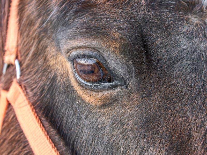 Επικεφαλής του αλόγου με το halter Καφετί άλογο στοκ φωτογραφία με δικαίωμα ελεύθερης χρήσης