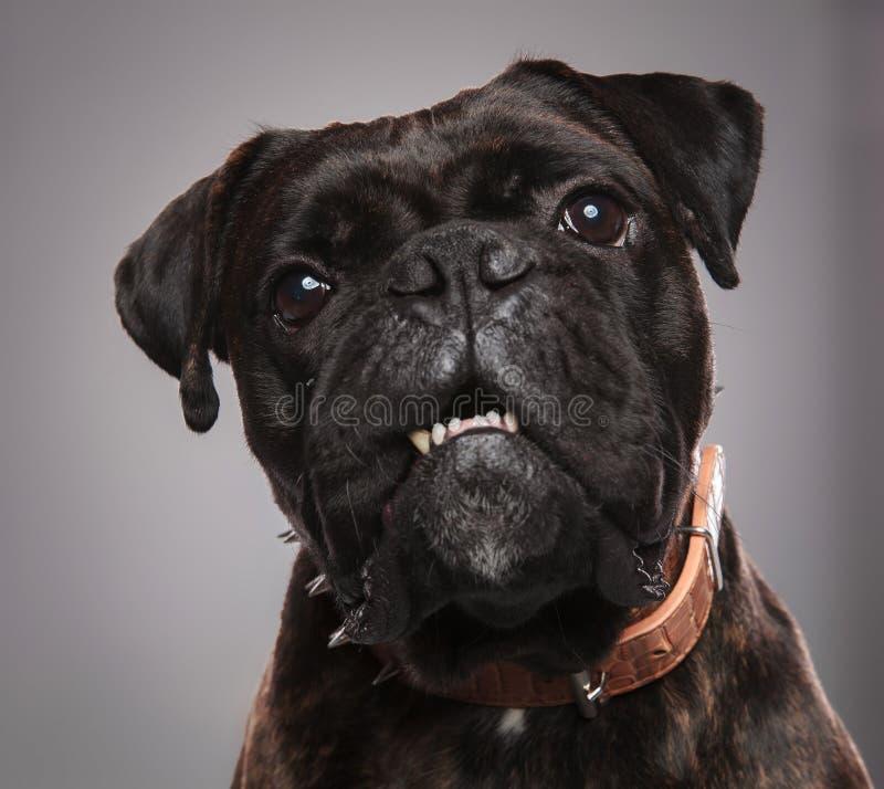 Επικεφαλής του λατρευτού μαύρου μπόξερ με το στόμα ανοικτό στοκ φωτογραφίες