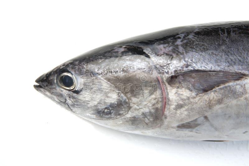 επικεφαλής τόνος ψαριών στοκ εικόνα με δικαίωμα ελεύθερης χρήσης