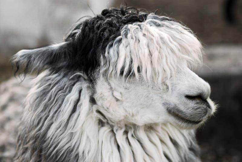 επικεφαλής llama στοκ εικόνα