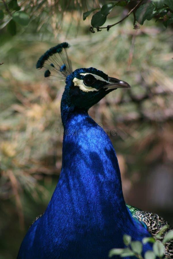 Επικεφαλής άποψη φτερών Peacock μπλε στοκ φωτογραφίες