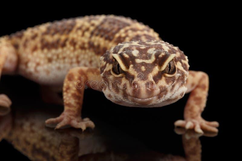 Επικεφαλής κινηματογραφήσεων σε πρώτο πλάνο του macularius Gecko Eublepharis λεοπαρδάλεων που απομονώνεται στο Μαύρο στοκ εικόνες