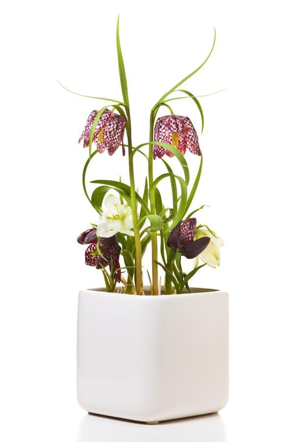 Επικεφαλής κρίνος φιδιού ή λουλούδι σκακιού στο δοχείο  στοκ εικόνα