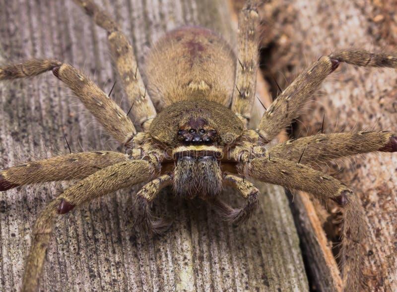 Επικεφαλής πυροβοληθείσα κινηματογράφηση σε πρώτο πλάνο της αράχνης Huntsman στοκ εικόνα με δικαίωμα ελεύθερης χρήσης