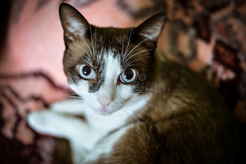 Επικεφαλής της κοινής γάτας με τα μπλε μάτια στοκ εικόνες