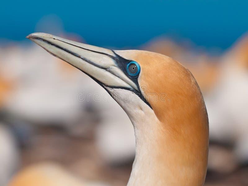 Επικεφαλής του gannet που ανατρέχει στην αποικία Νέα Ζηλανδία στοκ φωτογραφίες
