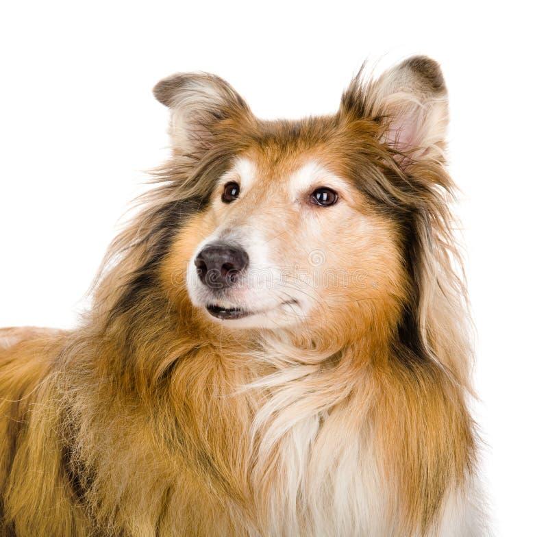 Επικεφαλής τραχύ κόλλεϊ - σκωτσέζικος ποιμένας (lassie) κοκκώδες χρώμα απομονωμένος στοκ εικόνες