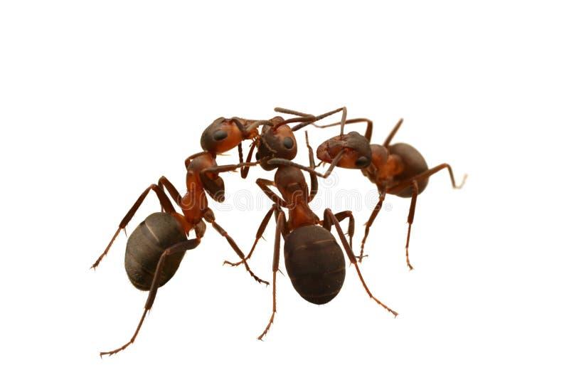 επικοινωνίες μυρμηγκιών στοκ εικόνα με δικαίωμα ελεύθερης χρήσης