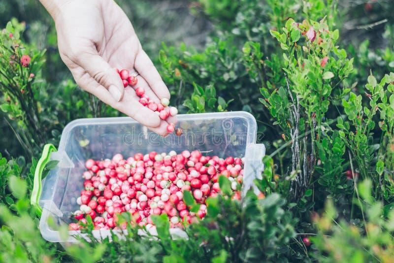 Επιλογή lingonberry Γυναίκα που συλλέγει τα άγρια μούρα στοκ φωτογραφία με δικαίωμα ελεύθερης χρήσης