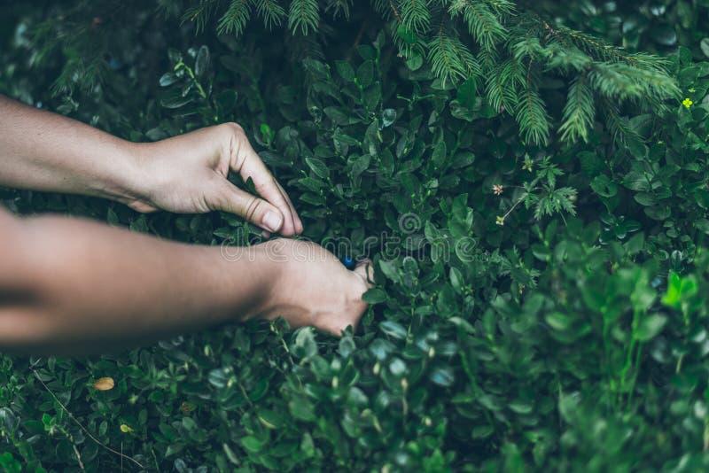 Επιλογή lingonberry Γυναίκα που συλλέγει τα άγρια μούρα στοκ εικόνες