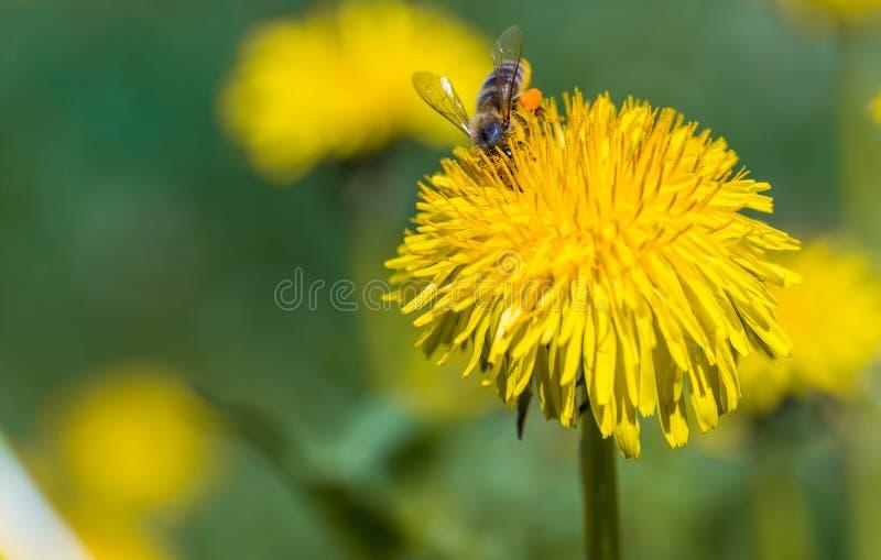 Επιμελής μέλισσα που συλλέγει τη γύρη στο κίτρινο λουλούδι πικραλίδων στην άνοιξη στοκ φωτογραφία