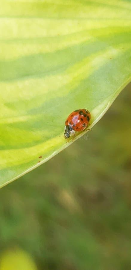 Επιπλέον κλείστε επάνω ladybug αφήνει τη μεγεθυμένη φύση ομορφιάς κανθάρων στοκ φωτογραφίες