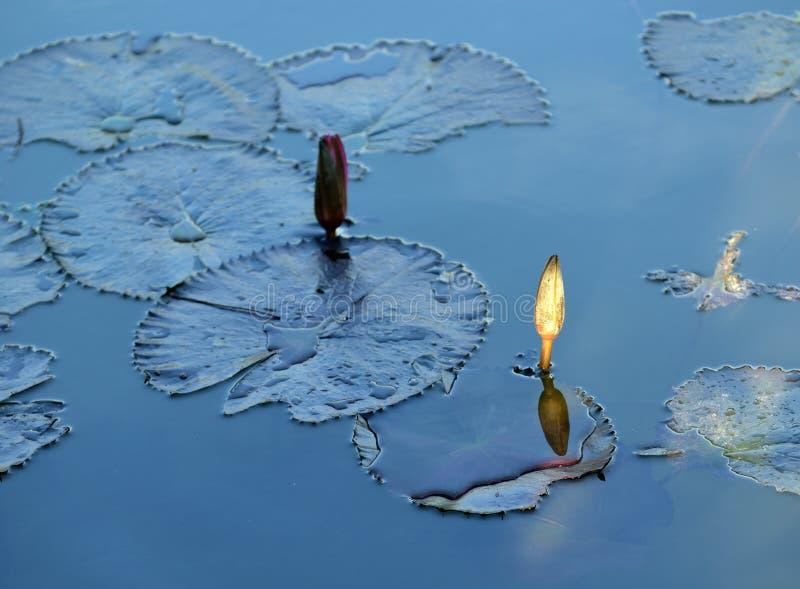 Επιπλέουσα ηλιοφάνεια φύλλων λωτού κρίνων νερού στοκ εικόνα