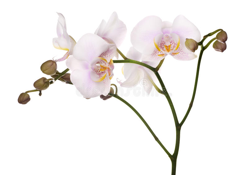 Επισημασμένα ανοικτό ροζ απομονωμένα orchids στοκ φωτογραφίες