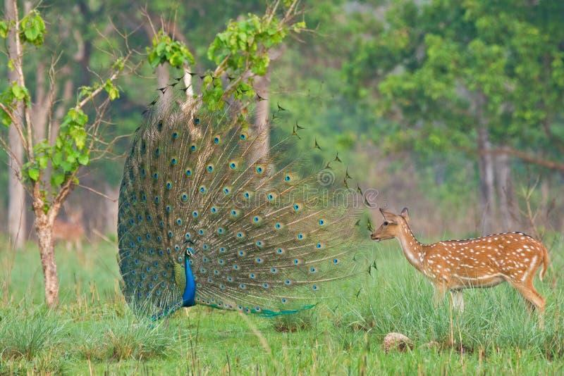 Επισημασμένα ελάφια με το peacock στοκ φωτογραφία με δικαίωμα ελεύθερης χρήσης
