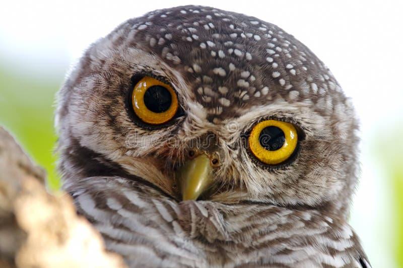 Επισημασμένα πουλιά brama Athene owlet κοντά επάνω στοκ φωτογραφίες με δικαίωμα ελεύθερης χρήσης