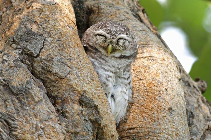Επισημασμένα πουλιά brama Athene owlet που κοιμούνται στο δέντρο κοίλο στοκ φωτογραφία με δικαίωμα ελεύθερης χρήσης