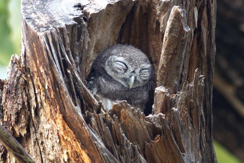Επισημασμένα πουλιά brama Athene owlet που κοιμούνται στο δέντρο κοίλο στοκ εικόνες