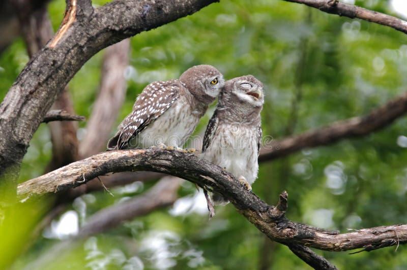 Επισημασμένα χαριτωμένα πουλιά brama Owlet Athene της Ταϊλάνδης στοκ φωτογραφία με δικαίωμα ελεύθερης χρήσης